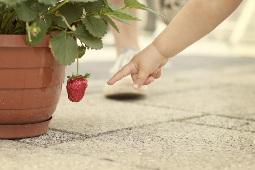 strawberry-gusciduovo_lc